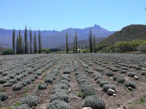 Ladismith South Africa (ZA)